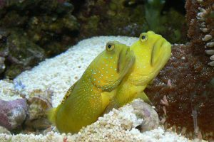 sand sifting goby