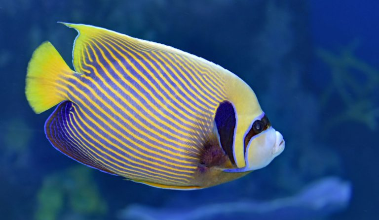 reef safe angelfish